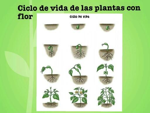 Play Ciclo De Las Plantas Con Flor By Marcia Quintana On Tinytap
