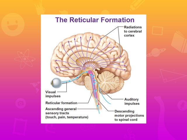 Play The Reticular Formation Game By Clara Garriga On Tinytap